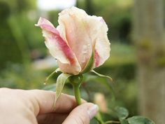 [ DIY Rose Oil and Rose Water ]