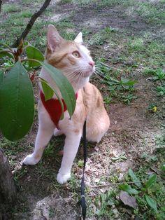 My cat Tiglon going for a walk.