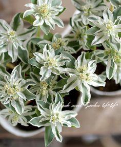 <i>Euphorbia marginata</i><BR><BR>ユーフォルビア<BR>ハツユキソウ<BR>『氷河』 | 花苗【リーフ】 | | Junk sweet Garden tef*tef* ガーデニング雑貨・花苗 Simply Beautiful, Beautiful Flowers, Garden Spells, Flower Fashion, Green Flowers, Container Gardening, Garden Plants, Flower Pots, Succulents