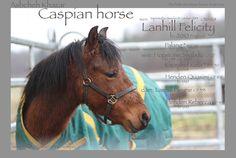 Caspian horse, mare, Lanhill Felicity b: 2010 England. Exported to Sweden 2014. sire: Hopstone Shabdiz (born England) dam: Lanhill Fleurie (born England).