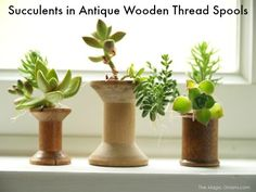 Succulents planted in Antique Wooden Thread Spools - The Magic Onions
