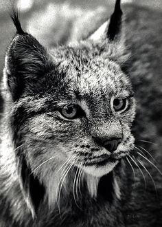 North American Lynx In The Wild. - Original fine art wildlife film photography by Bob Orsillo.  Copyright (c)Bob Orsillo / http://orsillo.com - All Rights Reserved.  Buy art online.  Buy photography online    Photographed in the wilderness of Canada in 1979 on black and white silver gelatin 35mm film.  Wildlife photography by Bob Orsillo. (Widely published in textbooks and magazines)