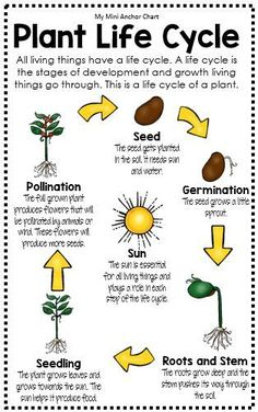 Life Cycle Anchor Chart - Plant Life Cycle worksheets Science Posters and Anchor Charts Primary Science, Kindergarten Science, Science Classroom, Teaching Science, Science For Kids, 4th Grade Science Lessons, Elementary Science, Learn Science, First Grade Science