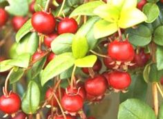 NZ Cranberries: This amazing plant can also be trimmed or clipped as a small hedge , In fact it responds better to being trimmed and will producer a higher yield as a result .  - Plant in full sun or part shade and enjoy. NZ$ 10.50