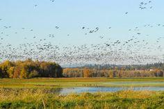 Les oies Bernaches du Canada vivent dans toute l'Amérique du Nord mais avec l'arrivée du printemps, elles migrent vers des régions encore plus septentrionales pour se reproduire. Pour se faire, elles suivent la fonte des neiges et parcourent environ 1 000 kilomètres. Certaines auraient effectué ce trajet en une seule journée !