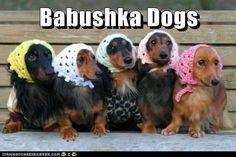 Ќе се пукнете од смеење: Кучиња со марами на главата личат на баби
