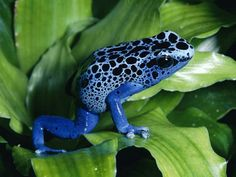 Poison Dart Frog. The 2 inch long (5cm) golden poison dart frog has enough venom to kill 10 adult humans or 20,000 mice. Only 2 micrograms of this lethal toxin (the amount that fits on the head of a pin) is capable of killing a human or other large mammal.Poison dart frogs keep their poison in their skins and will sicken or kill anybody who touches or eats it.