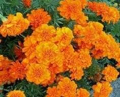 """Marigolds: Why plant them in your garden? """"Annual Marigolds can be used anywhere to deter Mexican bean beetles, squash bugs, thrips, tomato hornworms, and whiteflies. They are also known to repel harmful root knot nematodes that attack tomatoes, potatoes, roses, and strawberries. The root of marigolds produces a chemical that kills nematodes as they enter the soil. If a whole area is infested, at the end of the season, turn the Marigolds under so the roots will decay in the soil."""""""