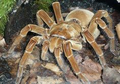The Goliath bird-eater tarantula of South America is arguably the biggest spider in the world.
