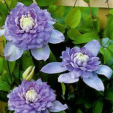 Clematis 'Blue Light™' - large flowering clematis, double bloomer - June to August/September