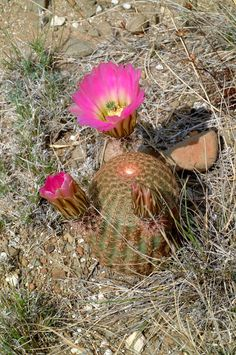 Echinocereus pectinatus, Mexico, San Luis Potosi, San Luis Potosi – Zacatecas  More Pictures at: http://www.echinocereus.de