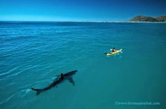 White Shark and Kayak    Interesting Things originally shared/https://plus.google.com/+JoshuaWalkerGEM/posts  When this photograph was first published in Africa Geographic, BBC Wildlife, later in Paris Match and the Daily Mail, it resulted in a flurry of e-mails, phone calls and letters from around the world asking if the image was a fake. The image became the most talked about of shark photograph ever. The photograph is real, no photoshop, no digital manipulation, no nothing, in fact it…