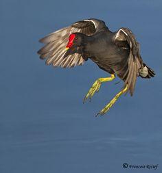 The Dusky Moorhen - Galainula tenebrosa, is a bird in the rail family. It occurs in Australia, New Guinea, and Indonesia. The Dusky Moorhen ...