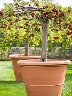 Growing Dwarf Fruit Trees Perfect For A Patio Dwarf Fruit Trees Potted Trees Fruit Garden