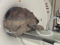 Rare Galapagos Tortoise Living in Pound Ridge Has CT Scan  Patch has exclusive video of the tortoise in his Pound Ridge habitat, home of the largest collection of privately owned Seychelle and Galapagos tortoises in the world.    Posted by Lisa Buchman (Editor),September 22, 2011 at 06:15 pm