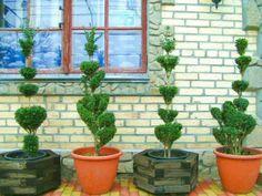 growing topiaries