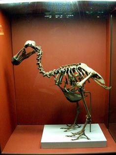 Dodo Bird Skeleton | 23: Dodo Bird Skeleton