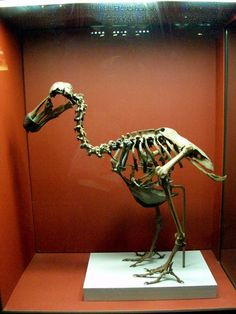 Dodo Bird Skeleton | 23: Dodo Bird Skeleton