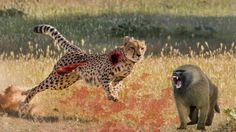 TOP Leopards Fighting To Death [NEW]