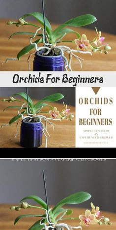 Orchids for beginners: an experienced grower tells how she cares for her orchids and what you need to know to get started at home. Growing Orchids, Growing Plants, Succulent Terrarium, Succulents Garden, Tropical Plants, Cactus Plants, Home Design, Transplant Succulents, Orchid Roots