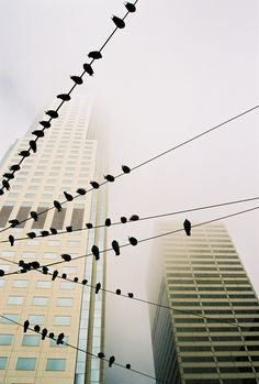 CITY BIRDS (Places) - Strolling through downtown San Francisco during our vacation, the birds sitting on the wires and skyscrapers in the foggy background caught my attention. A lucky shot! (Photo and caption by Matthias Luetolf/National Geographic Photo Contest)# This is a repin so the previous words are not mine. I was struck by how nature can adapt to our creation.
