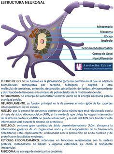 Imagen de una neurona acompañada por una descripción de sus distintas partes y componentes.  Infografía Neurociencias: Estructura neuronal. (2017). Asociación Educar para el Desarrollo Humano. Retrieved 12 May 2017, from http://www.asociacioneducar.com/ilustracion-estructura-neuronal