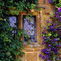 Blue clematis climbing on a Cotswold cottage, England