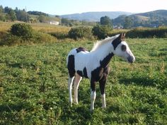 Reserve your 2015 APHA Registered paint foal just like the one pictured. The foal in this picture was raised on our farm and is already sold, ( To a little girl that loves her) but the dam and sire and several other mares will be having another foal this May-June 2015.