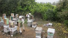 Medieval Beekeeping Compared to modern apiculture  ~A