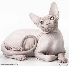 sphynx cats Baby Sphynx cat, these are delicate , cute and hairless, Just need some extra care for their skin, but will leave no hairs in your place which is big plus point