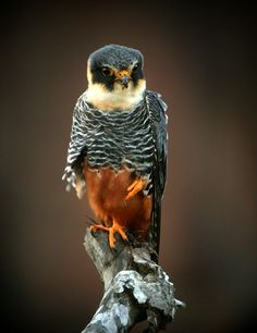 Image detail for -Bat Falcon (Falco rufigularis) A bird on a snag eating an insect.
