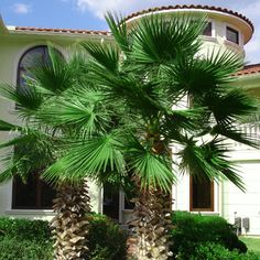 Idea for our Landscaping: Mexican Fan Palm Tree...backyard back left corner, two - one on each side of a date palm