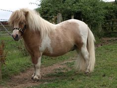 Skelberry Oliver - Shetland Pony stallion