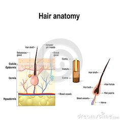 Diagram Of A Hair Follicle In A Cross Section Of Skin Layers Stock Vector – Illustration of dermatology, care: 83837459 - Modern Igora Hair Color, Skin Anatomy, Hair Science, Human Anatomy And Physiology, Cross Section, Blood Vessels, Cosmetology, Hair Care, Hair And Beauty