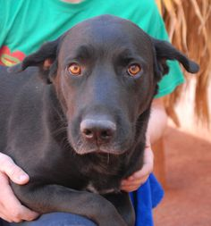 Bella is a thoughtful, friendly girl who would love to meet you and become a treasured member of your forever family.  She is a pretty Labrador Retriever mix, about 4 years of age, spayed, and debuting for adoption today at Nevada SPCA (www.nevadaspca.org).  Bella is wonderful with people and dogs.  We rescued her from another shelter that asked for our help for her ear infections.  Bella is now well and ready to begin her new life.