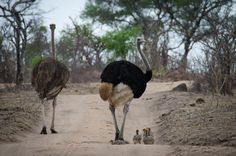 ostrich-and-chicks-kp