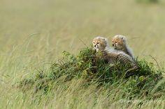 Baby cheetahs | Christine et MichelDenis Huotphotographes animaliers - - Guépard 6 semaines - 28535