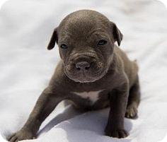 Belleville, MI - Pit Bull Terrier Mix. Meet SELINA (ADOPTION PENDING), a puppy for adoption. http://www.adoptapet.com/pet/10777810-belleville-michigan-pit-bull-terrier-mix