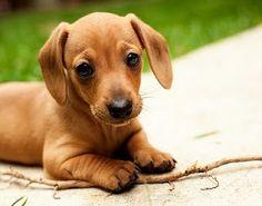 dachshund puppy <3