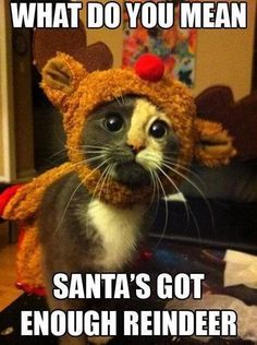 Santa's got enough Reindeer. Cute and funny kitty cat quotes. Tap to see more funny animals quotes! Crazy Cat Lady, Crazy Cats, Baby Animals, Funny Animals, Funniest Animals, Cute Animals With Funny Captions, Gatos Cats, What Do You Mean, Funny Cat Memes