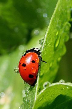 An unexpected shower - ladybug Drone Bee, Cute Tats, Lovely Creatures, Lady Bugs, Monarch Butterfly, Nature Animals, Snails, Lady In Red, Cute Animals