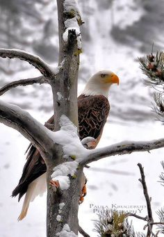 Beautiful Eagle in Winter #Wildlife #Nature #Photography