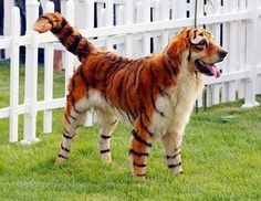 Tiger-Dog cannot change his stripes.