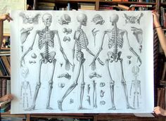 Wall-sized Reproduction Print. Black and White 1860 Skeletal Anatomy Print No. 1. 40 inches x 50 inches on Etsy, $300.00