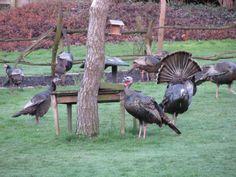 Turkeys this morning