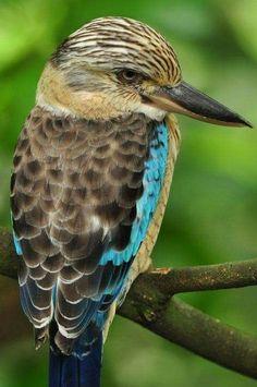 アオバネワライカワセミ (笑い翡翠)  Blue-winged kookaburra (Dacelo leachii)  male