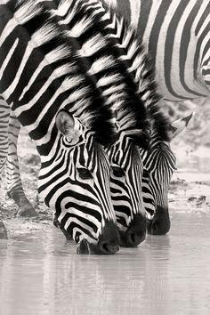 Zebra Trio by Rudi Hulshof on 500px