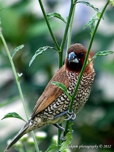 Scaly Breasted Munia by Hakeem Photography