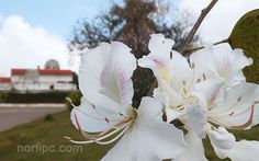 Flores del Árbol Orquídea, al fondo el restaurante el Árabe en las Escaleras de Jaruco