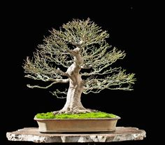 Bonsai Photo Of The Day 11/6/2017 – BonsaiJack.com #bonsaijack #bonsai